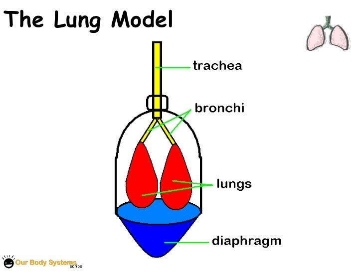 Human Respiratory System Model For Kids