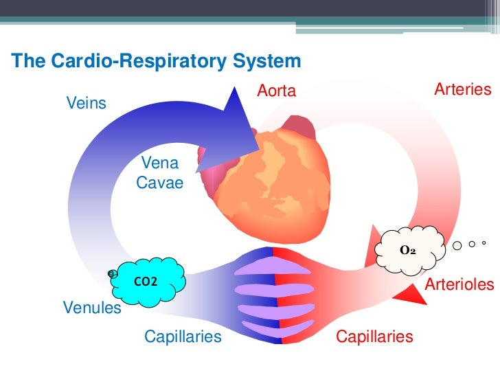 cardio vascular respiratory system working together The circulatory system and the respiratory system work closely together to ensure that organ tissues receive enough oxygen oxygen is required for cellular.