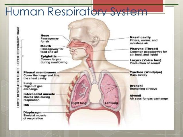 Grade 9 Respiratory System
