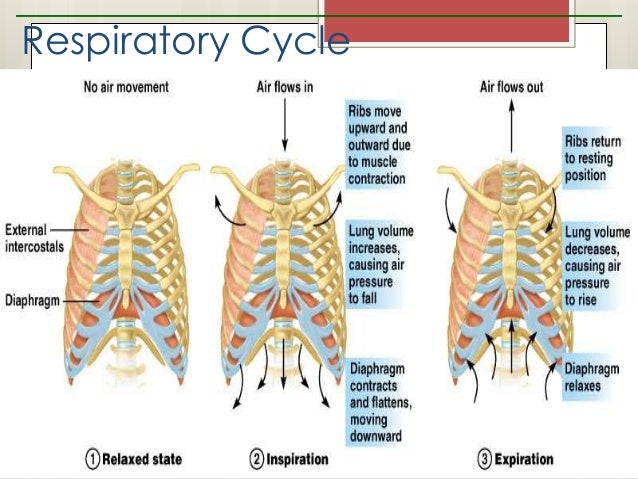 Grade 9 respiratory system respiratory cycle figure 109 7 ccuart Gallery