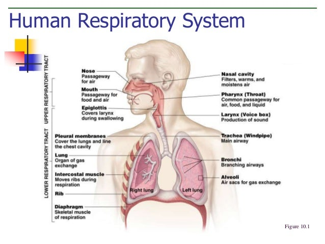 Respiratory system aerobic revision notes in gcse physical education aerobic respiration ccuart Gallery
