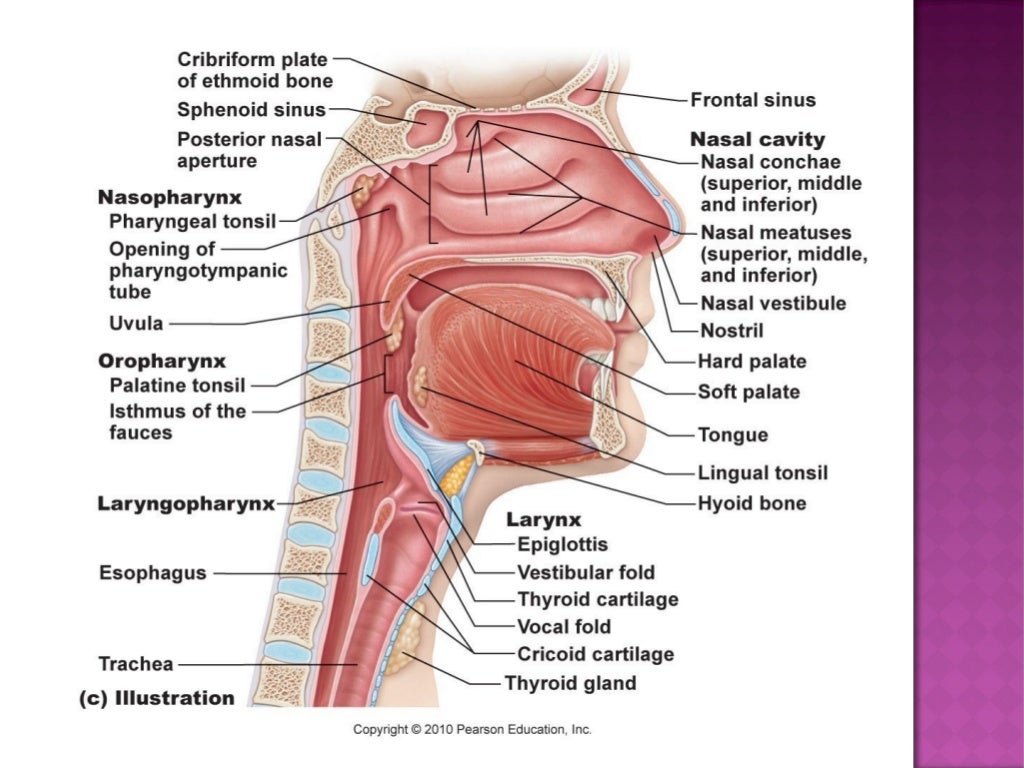 Anatomy & Physiology Lecture Notes - Respiratory system