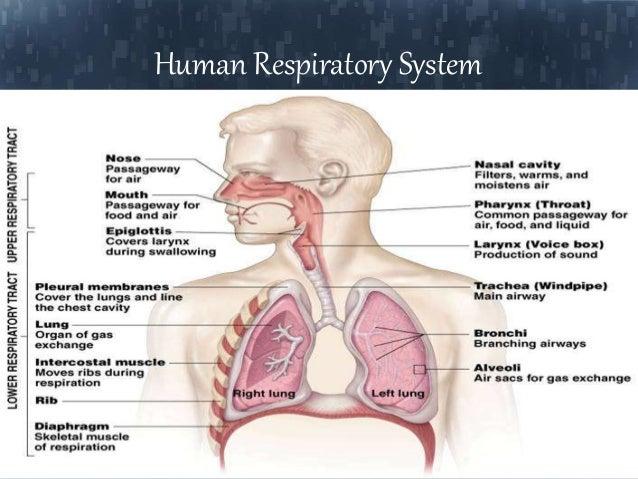 respiratory system, Cephalic Vein