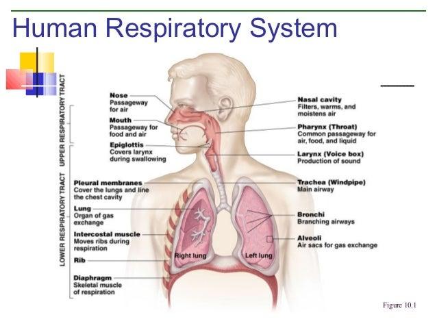 Respiratory system Slide 3
