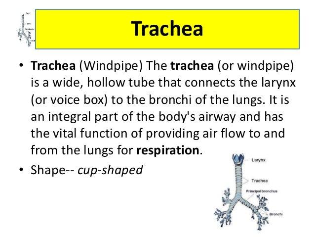 CCON Respiratory system