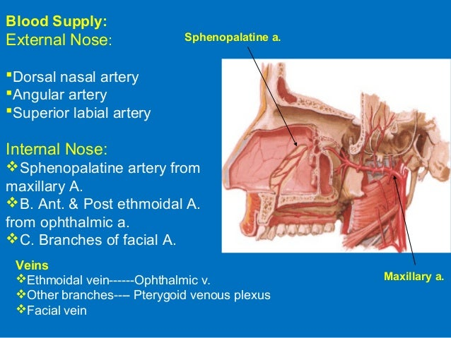 Upper respiratory system- anatomy