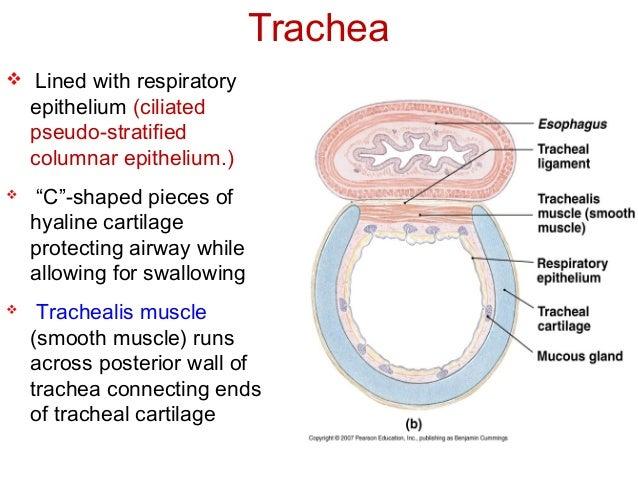 Trachea 55877756
