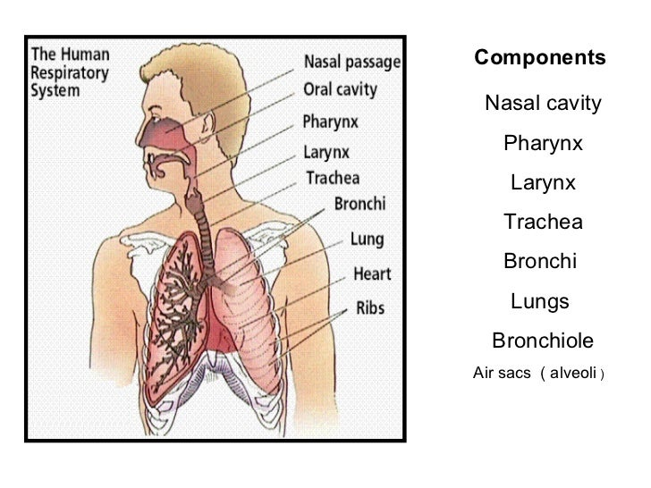 Respiratory system anatomy