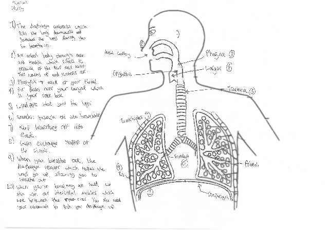 Respiratory System Diagram Student Work Coaching