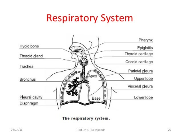 Respiratory system part 1