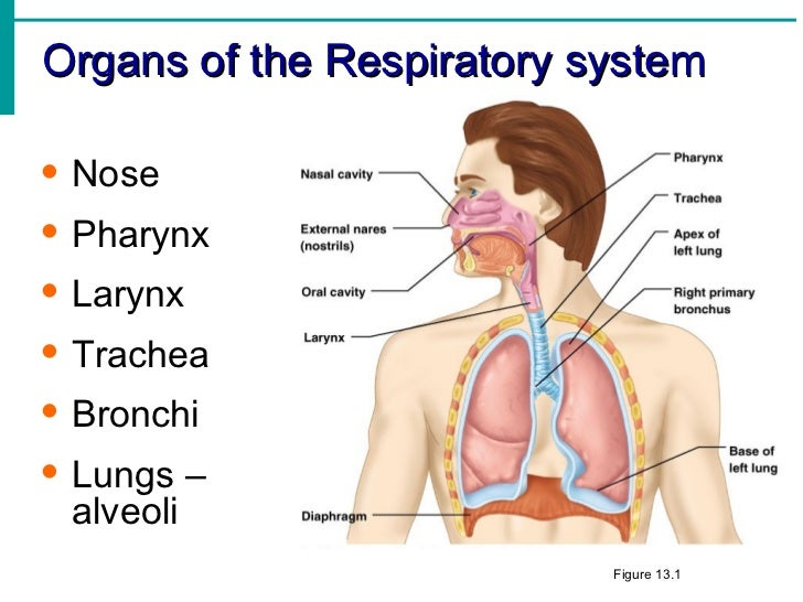 respiratory system notes, Human Body