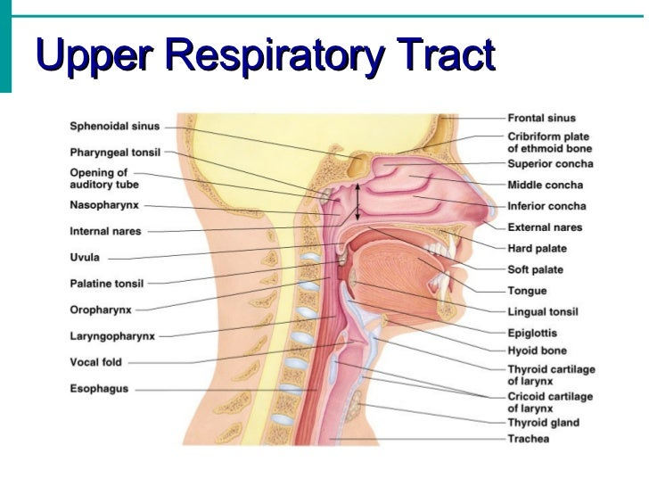 System notes respiratory system notes ccuart Image collections