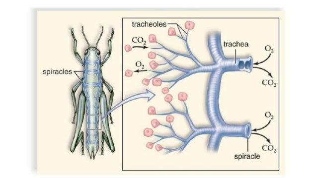 El sistema respiratorio de los insectos