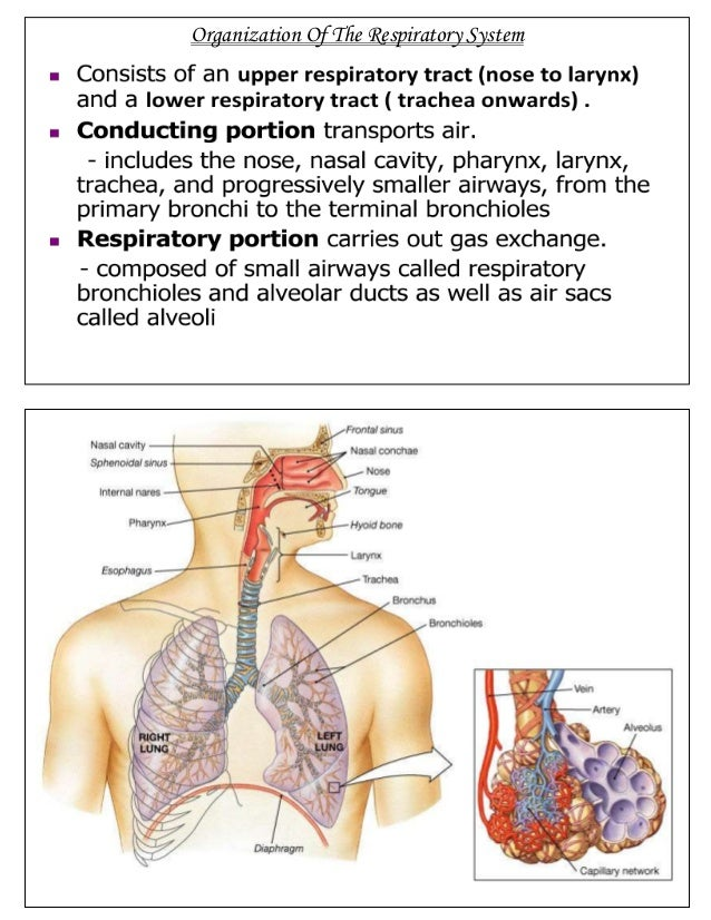 Respiratory system of ox