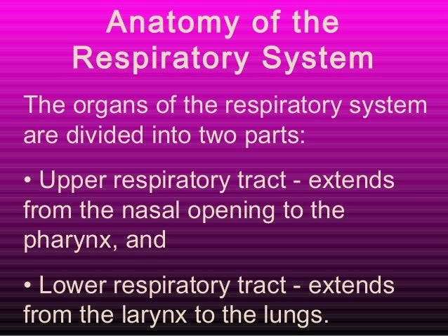 Respiratory system of goat