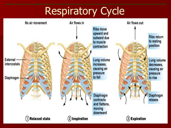 Respiratory cycle diagram residential electrical symbols respiratory system ppt rh slideshare net respiratory cycle diagram 6th grade science respiratory control center ccuart Image collections