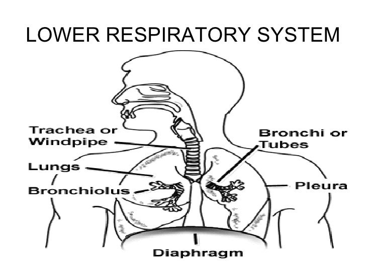 respiratory system slide show
