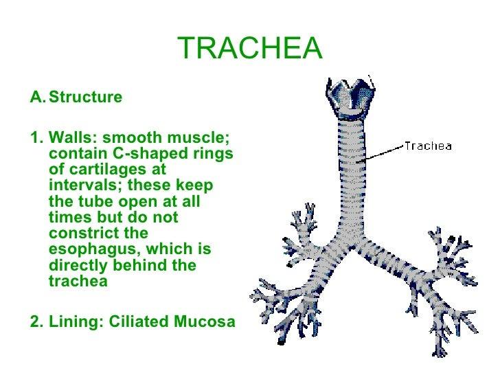 respiratory system slide show, Human Body