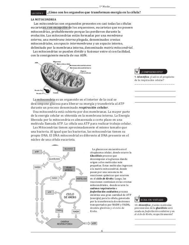 Cómo son los organelos que transforman energía en la célula? 1º Medi…