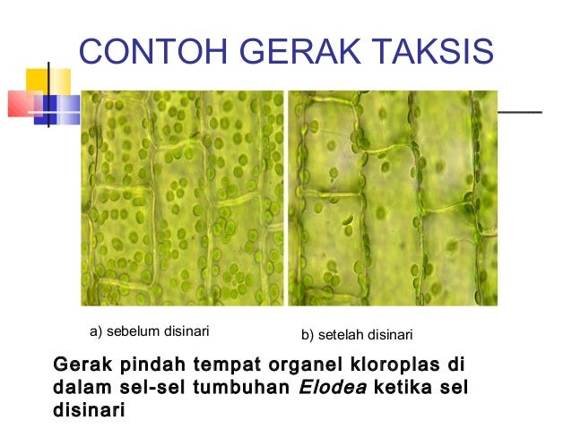 Image result for Gerak Taksis