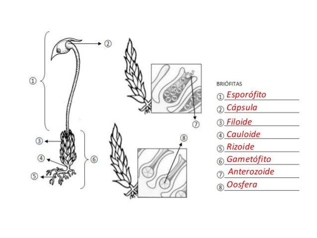 Esporófito Cápsula Filoide Cauloide Rizoide Gametófito Anterozoide Oosfera