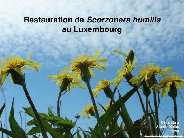Restauration de Scorzonera humilis ! au Luxembourg http://www.flickr.com/photos/murel/164839023/ Célia Stutz Amélie Muller...