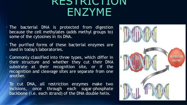 Restriction Enzymes Are Used Naturally In A Bacterial Cell To