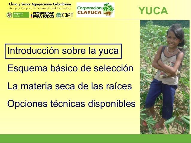 YUCA  Introducción sobre la yuca Esquema básico de selección La materia seca de las raíces Opciones técnicas disponibles
