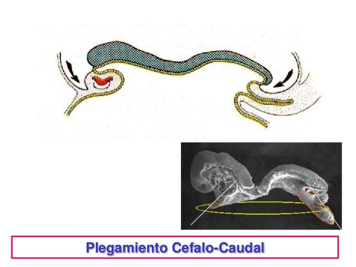 Plegamiento Cefalo-Caudal