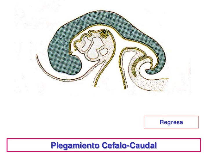 RegresaPlegamiento Cefalo-Caudal
