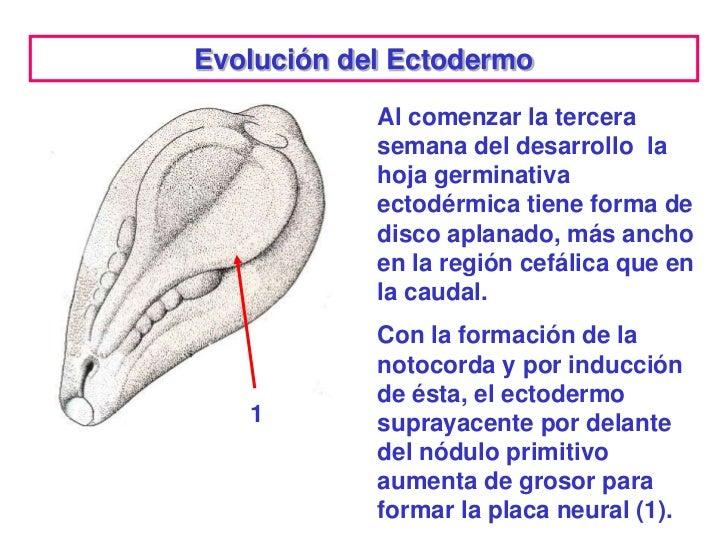 Evolución del Ectodermo            Al comenzar la tercera            semana del desarrollo la            hoja germinativa ...