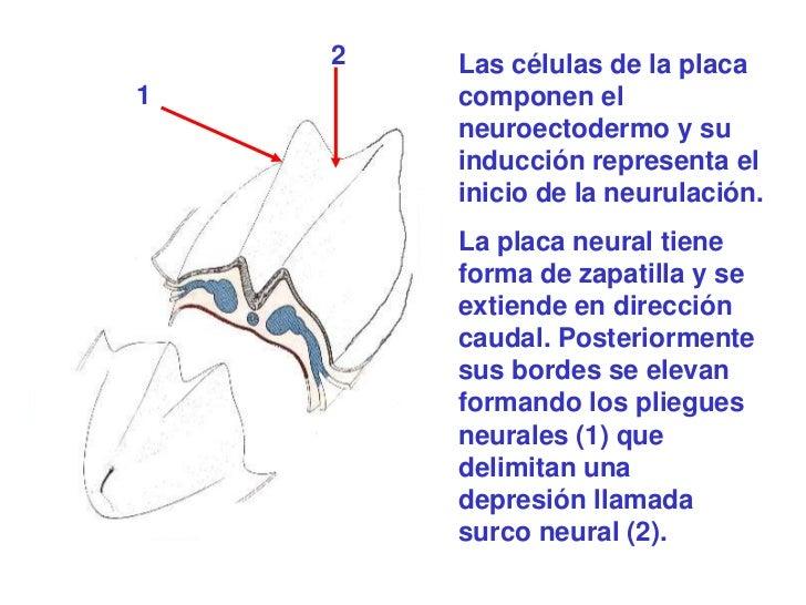 2   Las células de la placa1       componen el        neuroectodermo y su        inducción representa el        inicio de ...