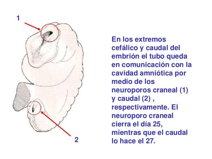 1        En los extremos        cefálico y caudal del        embrión el tubo queda        en comunicación con la        ca...