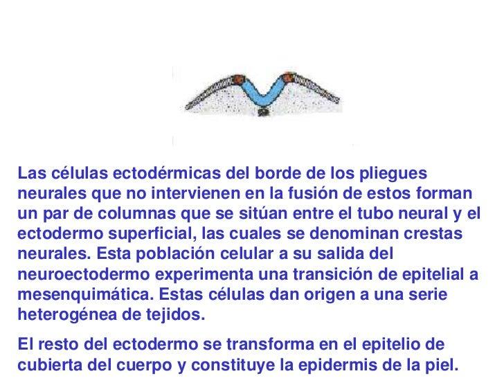 Las células ectodérmicas del borde de los plieguesneurales que no intervienen en la fusión de estos formanun par de column...