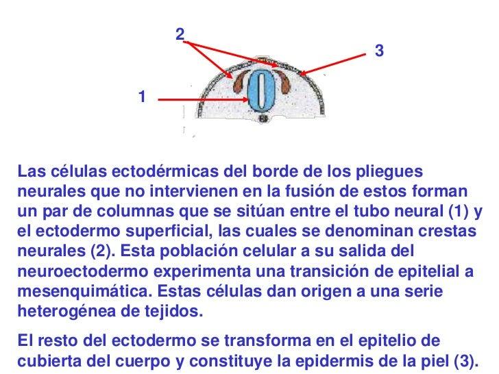 2                                               3               1Las células ectodérmicas del borde de los plieguesneurale...