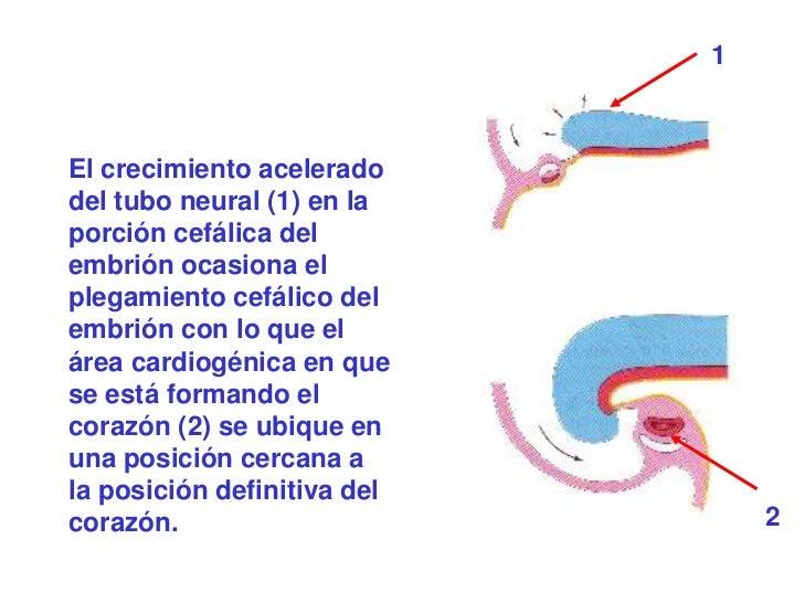 1El crecimiento aceleradodel tubo neural (1) en laporción cefálica delembrión ocasiona elplegamiento cefálico delembrión c...