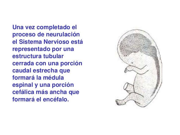 Una vez completado elproceso de neurulaciónel Sistema Nervioso estárepresentado por unaestructura tubularcerrada con una p...