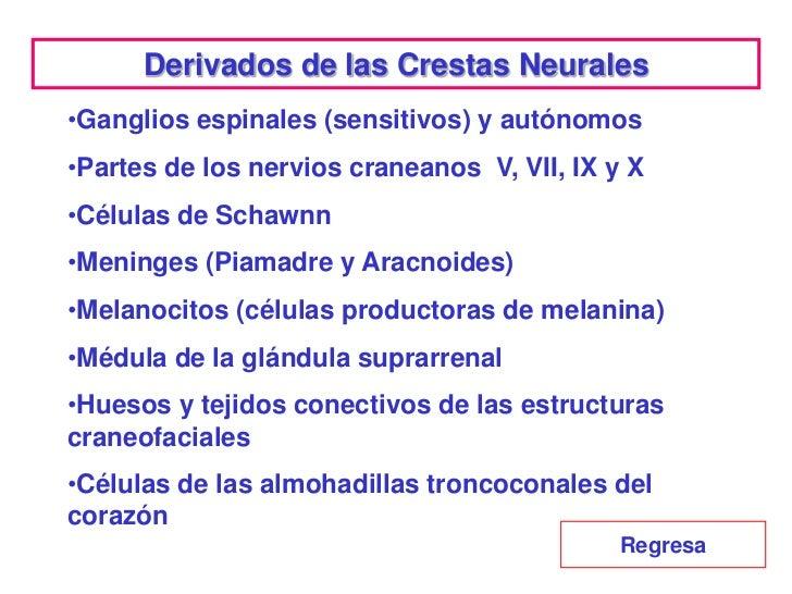 Derivados de las Crestas Neurales•Ganglios espinales (sensitivos) y autónomos•Partes de los nervios craneanos V, VII, IX y...