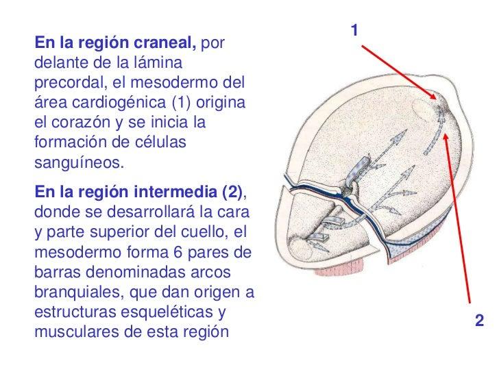 1En la región craneal, pordelante de la láminaprecordal, el mesodermo delárea cardiogénica (1) originael corazón y se inic...
