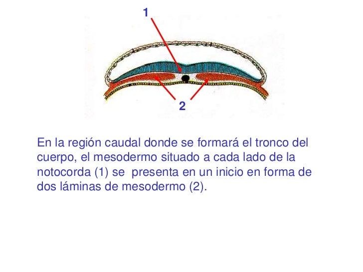 1                         2En la región caudal donde se formará el tronco delcuerpo, el mesodermo situado a cada lado de l...