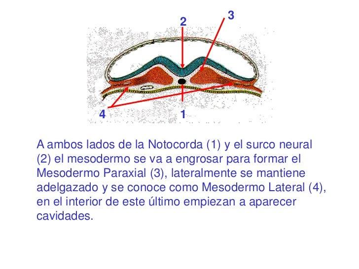 3                         2           4             1A ambos lados de la Notocorda (1) y el surco neural(2) el mesodermo s...