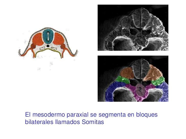 El mesodermo paraxial se segmenta en bloquesbilaterales llamados Somitas