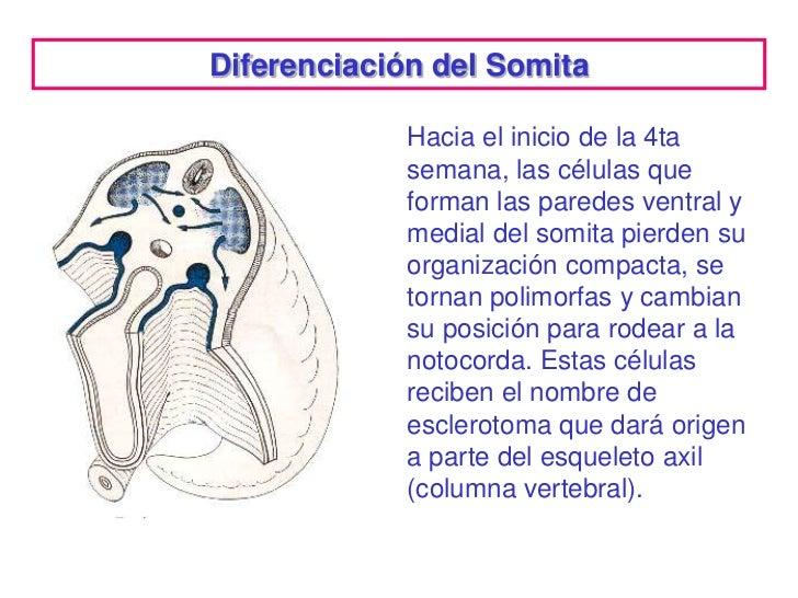 Diferenciación del Somita             Hacia el inicio de la 4ta             semana, las células que             forman las...