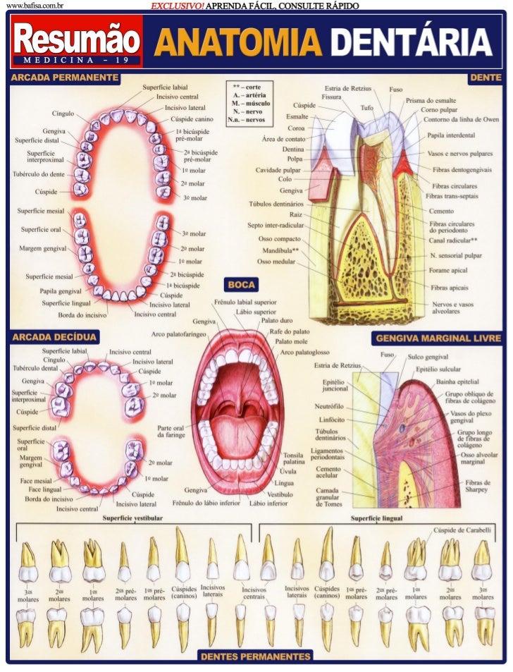 Resumo anatomia dentaria: odontostation@gmail.com