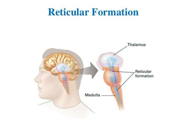 the reticular formation The reticular formation [w l kilmer] on amazoncom free shipping on qualifying offers.