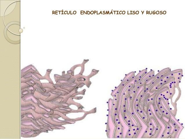 RETÍCULO ENDOPLASMÁTICO LISO Y RUGOSO