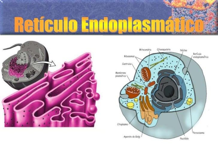 Características do RetículoEndoplasmático• Uma característica estrutural do RE é a continuidade com o  envoltório nuclear....