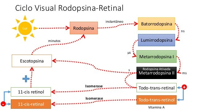 Ciclo Visual Rodopsina-Retinal Rodopsina Batorrodopsina Lumirrodopsina Metarrodopsina I Metarrodopsina II Luz instantâneo ...