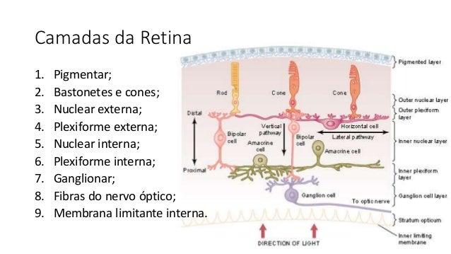 Camadas da Retina 1. Pigmentar; 2. Bastonetes e cones; 3. Nuclear externa; 4. Plexiforme externa; 5. Nuclear interna; 6. P...