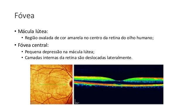 Fóvea • Mácula lútea: • Região ovalada de cor amarela no centro da retina do olho humano; • Fóvea central: • Pequena depre...